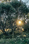 Sun shining behind trees Alpine National Park Australia