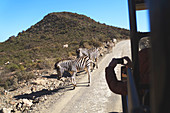 Safari vehicle driving by zebras on sunny road