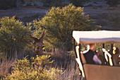 Safari tourists watching giraffes