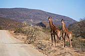 Giraffes at sunny roadside on wildlife reserve