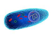 Pasteurella multocida bacterium, illustration