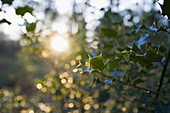 Sunshine over tranquil holly tree branches