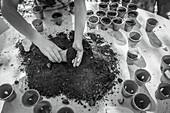 Woman potting seedlings with dirt in flowerpots