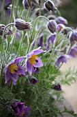 Blühende Küchenschelle im Frühling
