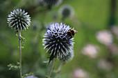 Hummel auf Blüte von Kugeldistel
