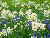 Blumenwiese im Frühling mit Narzissen 'Geranium' 'Minnow', Traubenhyazinthen und Wiesenschaumkraut