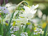Weiße Narzisse 'Thalia' mit Wiesenschaumkraut