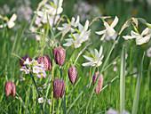 Blumenwiese im Frühling mit Schachbrettblumen, Narzissen 'Thalia' und Wiesenschaumkraut
