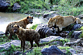 Lion and hyenas sharing kill