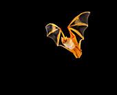 Painted bat in flight