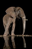 African bush elephant drinking at night