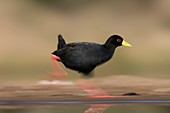 Black crake motion blur pan
