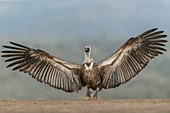 White-backed vulture wingspan