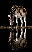 Burchell's Zebra drinking at night