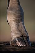 Giraffe's foot