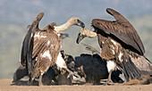White-backed vultures skirmishing