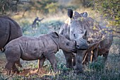 White rhino calf bonding with adult bull