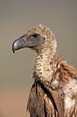 White-backed vulture portrait