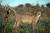 Cheetah male scentmarking