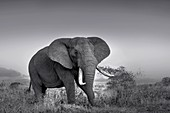 African bush elephant bull in monochrome