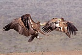 White-backed vultures in aerial skirmish