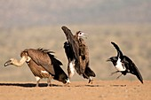 White-backed and Hooded vulture with crow