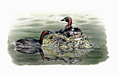 Little grebes with chicks in nest, illustration