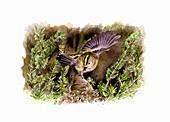 Goldcrest feeding chick in nest, illustration