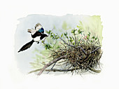 Magpie approaching nest, illustration
