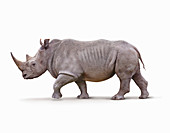 White rhino, illustration