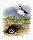 Atlantic puffins nesting in burrow, illustration