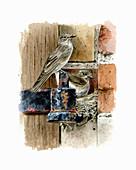 Spotted flycatchers nesting on hinge bracket, illustration