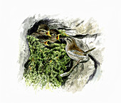 Wren feeding chicks in mossy nest, illustration
