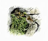 Wren feeding chicks in mossy nest, illustration