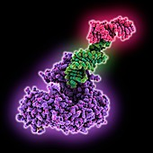 Nucleolar protein Nop9 complexed with RNA, illustration