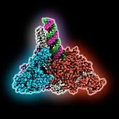 SARS-CoV-2 complex bound to helicase, illustration