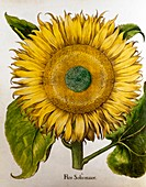 Sunflower (Helianthus annuus), 1613 illustration