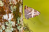 Dirce beauty butterfly
