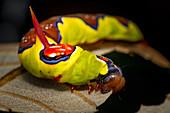 Multi-coloured caterpillar