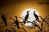 Neotropic cormorants
