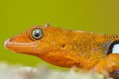Gonatodes dwarf gecko