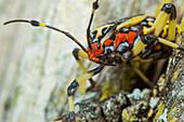 Immature giant mesquite bug