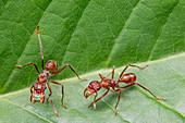 Ectatomma tuberculatum ants
