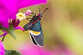 Firetip butterfly