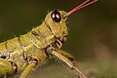 Mountain grasshopper