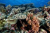 Healthy coral reef, Great Barrier Reef, Australia