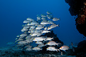 Yellow-banded snappers