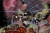 Claws of a banded coral shrimp