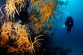 Scuba diver with black coral