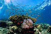 Tropical coral reef in Sipadan Island, Malaysia